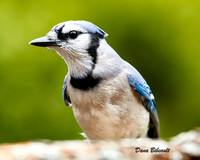 5DS_5232_BlueJay2